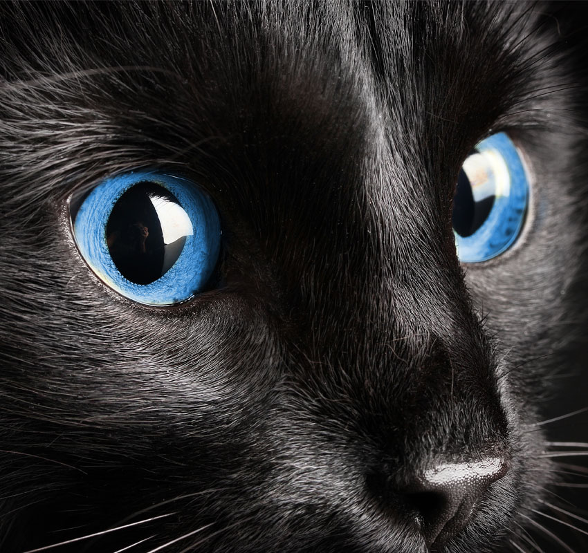Image of a cat with blue eyes looking to the right.